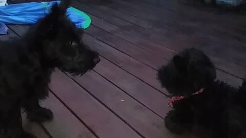 Scottish Terrier not a fan of toy look-alike