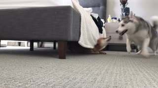 Dogs play high intensity game of tag