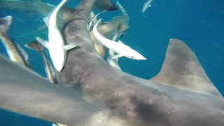 Sharks are friends NOT food - Video