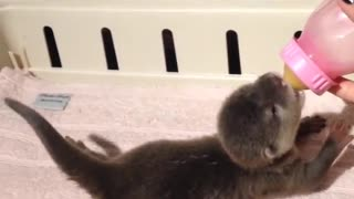 Bottle Feeding Baby Otter - Video