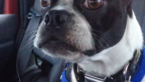 Boston Terrier impersonates a goat and a dolphin? - Video