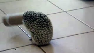 'Unlucky' Hedgehog Gets His Head Stuck In Toilet Paper Roll - Video