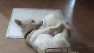 Fearless puppy takes on adult Westie - Video