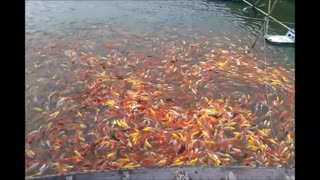 Fish Feeding Frenzy - Video