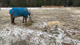 Greedy horse won't share breakfast with hungry puppy