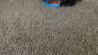 Yorkie playing with blue frisbee - Video