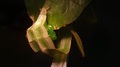 Amazing leaf insects mating