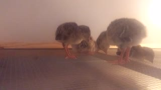 Exhausted turkey chicks fall asleep standing up
