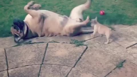 Gentle Giant Dog Minds His Strength With Tiny Frenchie