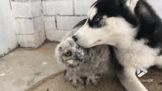 The First Ever Meeting Of Husky And Owl