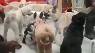 Poodle party  - Video