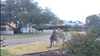 Kangaroos Get Some Morning Exercise