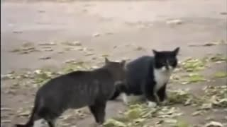 A Dog finished the fight of two cats  - Video