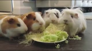 4 Rabbits Eat Food very quickly