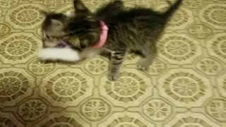 2 little kittens playing