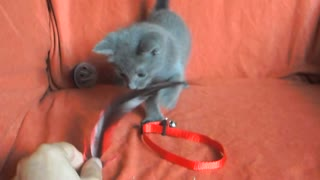 Russian Blue Princess Plays With Her Human  - Video