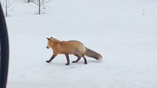 Successful Hunt by Red Fox - Video