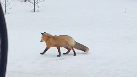 Successful Hunt by Red Fox