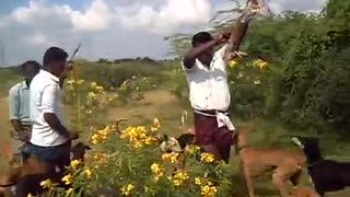 hunting rabbets by dogs v amazing 2  - Video