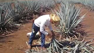 Harvesting of agave plant  - Video