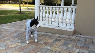 Funny Great Dane wearing sweatshirt in cold Florida - Video