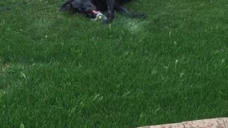 Dog loves rolling in the sprinklers  - Video