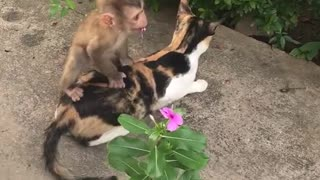 Small monkey tries to jump on calico cat  - Video