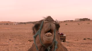 camel shows off his teeth on camera