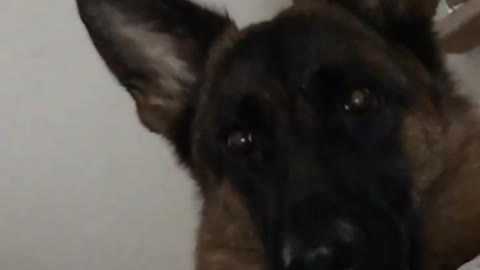 German Shepherd totally bewildered by sound of barking dogs