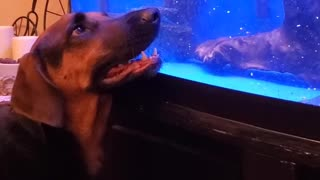 Boone the Dog and Biggie the Fish Playing Through the Glass