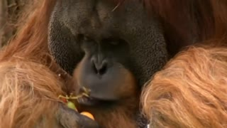 Orangutan Predicts German Soccer Cup Final Winner - Video