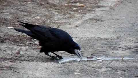 A rook with a very long beak learned to drink water