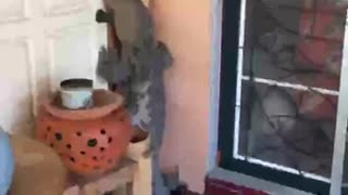 Monster Lizard Tries To Get In House  - Video