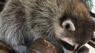 Baby Raccoon takes a nap