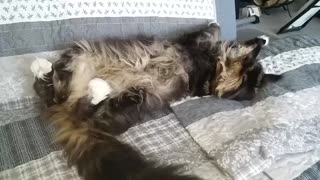 Cute Maine Coon doesn't care about Coronavirus
