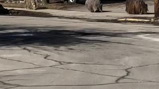 "Trio of ""mop"" dogs casually stroll down street"