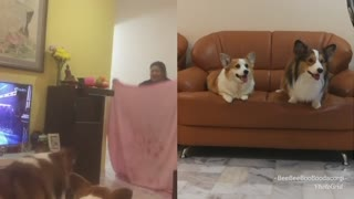 Corgi What The Fluff Challenge  - Video