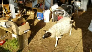 I Finally Busted the Sheep that's been messing around my stuff  - Video