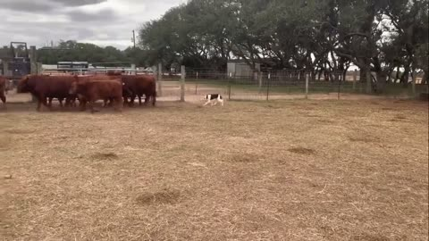 A dog plays with a cow and the cow hits him hard