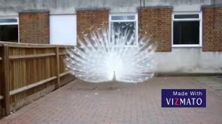 Peacock Is The Most Beautiful Natural Creativity