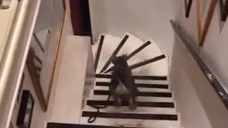 A reverse video of a grey dog walking downstairs - Video