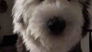 Black white dog gets scared of his hiccups