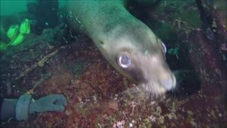 Diving with Sea Lions - Video