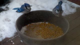 Real life Angry Birds fight over cat food - Video