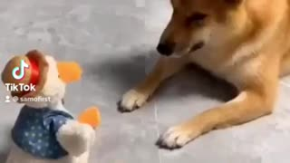 Dog playing with......