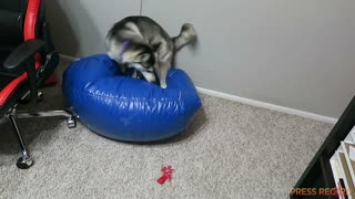 Extremely hyper Husky tries to relax - Video