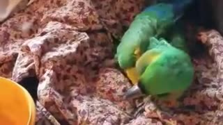 macaw sings along  - Video
