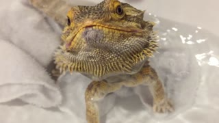 Pampered Lizard Enjoys Snacks During His Bath