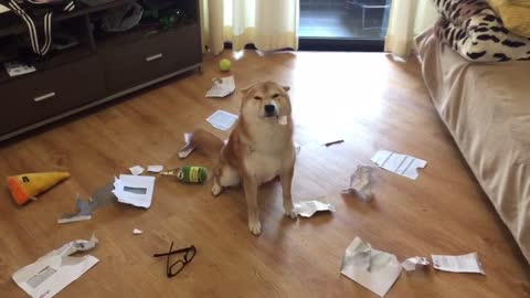 Guilty Shiba Inu chews all of his owner's letters