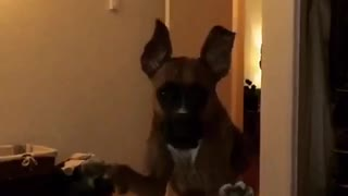 Big dog jumps onto bed and towards camera